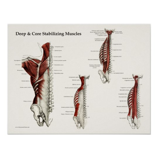 deep  u0026 core stabilizing muscles anatomy poster