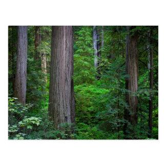 Deep in the Redwoods... Postcard