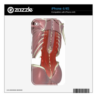 Deep Muscles of the Back Decals For The iPhone 4S