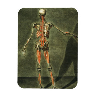 Deep Muscular System of the Back of the Body, plat Magnet