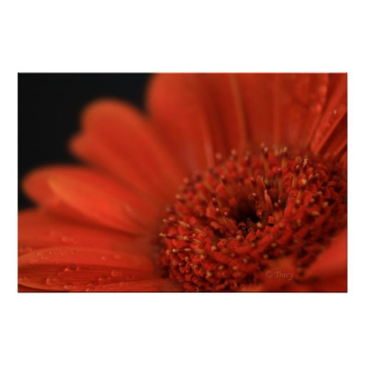Deep Orange Gerbera Poster