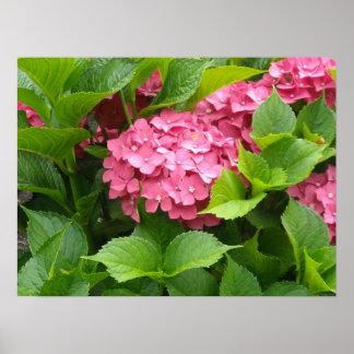 Deep Pink Hydrangea Blooms Poster