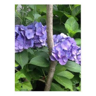 Deep Purple Hydrangeas Postcard