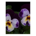 Deep Purple White Pansies Post Card