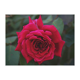 Deep Red Rose Flower in bloom in garden Canvas Print