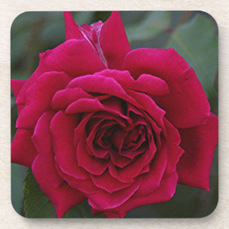 Deep Red Rose Flower in bloom in garden Coaster
