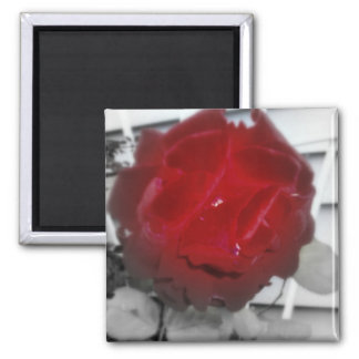 """"""" Deep Red Rose"""" Magnet"""