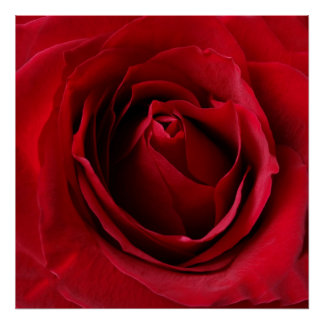 deep red rose poster