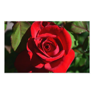 Deep Red Rose Print