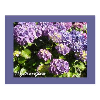 Deep Violet  Hydrangeas Postcard
