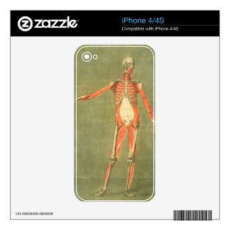 Deeper Muscular System of the Front of the Body, p Decal For The iPhone 4