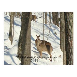Deer At Quabbin Reservoir 2011,  Massachusetts,... Postcard
