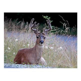Deer Buck Lying Down Postcards