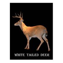 Deer (Buck) White-Tailed Postcard