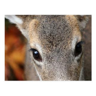 Deer Fawn Closeup Portrait Postcard