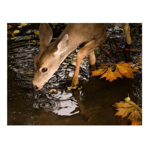 Deer Fawn in a Creek Postcard