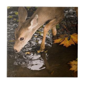Deer Fawn in a Creek Tile