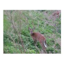 Deer Fawn Postcard