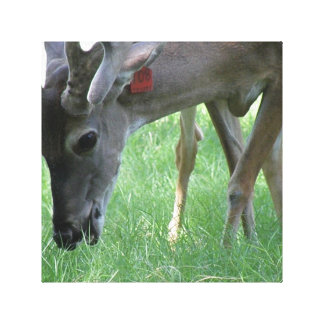 Deer Grazing Canvas Print