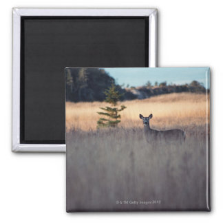 Deer in field of tall grass 2 inch square magnet