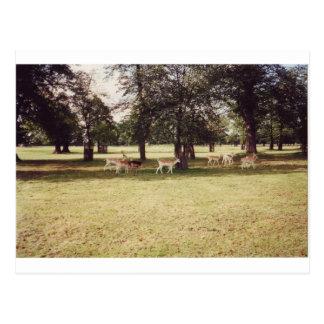 Deer in Richmond Park Postcard