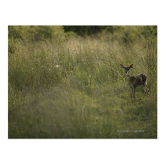 Deer in tall grass postcard