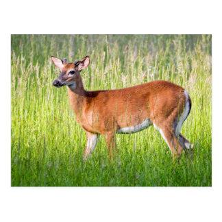 Deer In Tall Grass Postcard