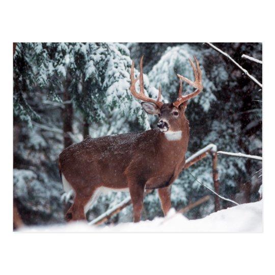 Deer in the Snow Postcard