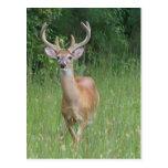 Deer in Velvet Post Cards