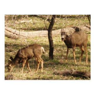 Deer Raspberries II Postcard