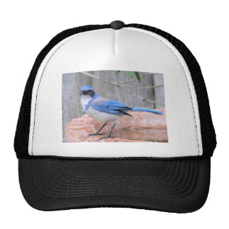 Defiant Western Scrub-Jay Stands On Edge of Brick Trucker Hat