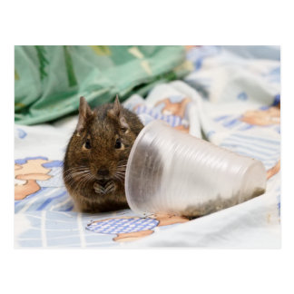 Degu Gnawing Her Food on the Bed Postcard