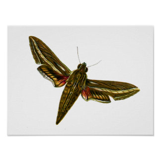 Deilephila celerio print