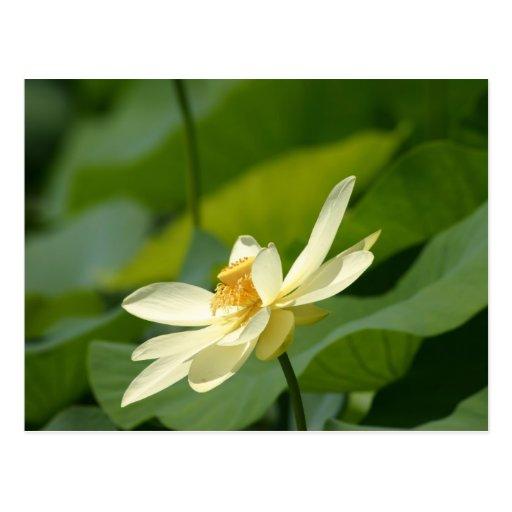 Del agua flor lilly postal