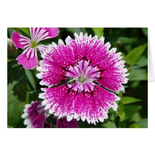 Del clavel del clavel cierre rosado/púrpura para a tarjeta de felicitación