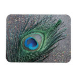 Del pavo real todavía de la pluma vida negra brill imanes rectangulares