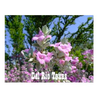 del rio texas souvenirs purple sage postcard