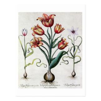 Del Tulipa de Perfica aperta no, Tulipa Polyanthos Tarjeta Postal