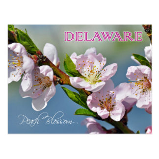 Delaware State Flower: Peach Blossom Postcard