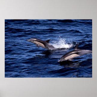 delfín común Cortocircuito-beaked Impresiones