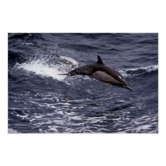 Delfín común de pico largo poster