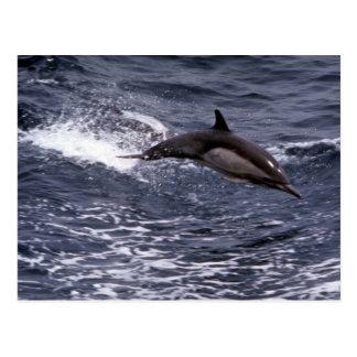 Delfín común de pico largo postales