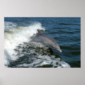 Delfín de Bottlenose Póster