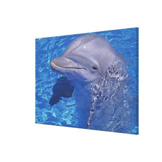 Delfín de Bottlenosed Tursiops Truncatus Impresiones En Lona Estiradas