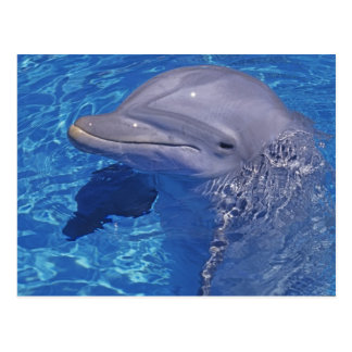 Delfín de Bottlenosed, Tursiops Truncatus Postales