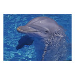 Delfín de Bottlenosed, Tursiops Truncatus Posters