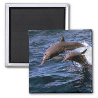 Delfín del hilandero imán cuadrado