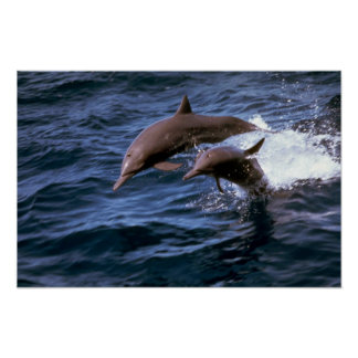 Delfín del hilandero poster