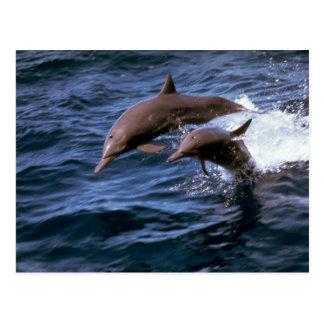 Delfín del hilandero postales