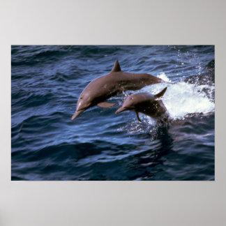 Delfín del hilandero póster